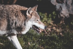 experiencia-castilla-leon-lobos-destinos-en-pareja